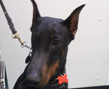 Doberman-Long-Show-Crop
