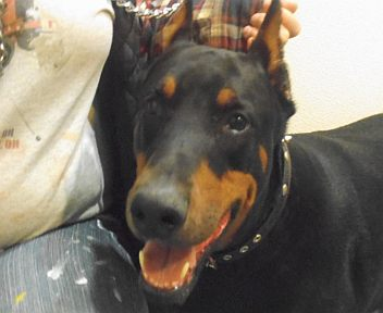 Doberman-Medium-Working-Crop