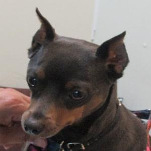 Miniature-Pinscher-Long-Crop